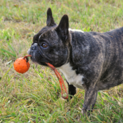 Major Dog Speed sling ball with pug small1