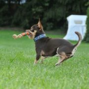 Major Dog catch dummy Chihuahua