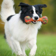 Major Dog collie with Barbell large