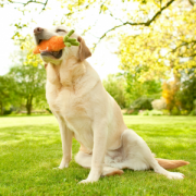 Garden Fresh dog with carrot 2