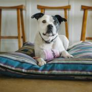 PLAY American Classic Milkshake dog on pillow2