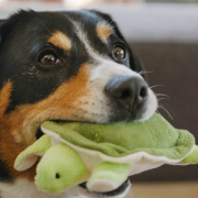 PLAY Dog with Turtle in mouth2